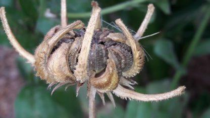 calendula-seedhead-kahikatea-farm