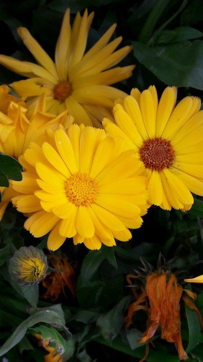 calendula-yellow-kahikatea-farm