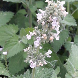 catnip-flower-kahikatea-farm