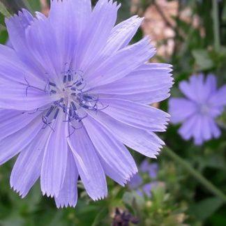 chicory-flower-kahikatea-farm