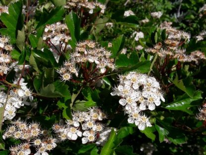 hawthorn-blossom-kahikatea-farm