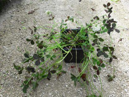 clover-back-shamrock-potted-plant-kahikatea-farm