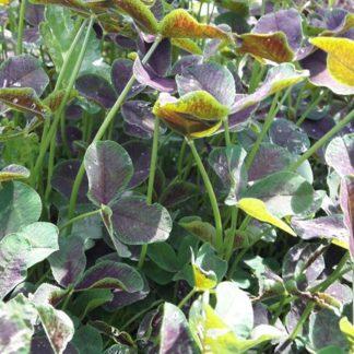 clover-black-shamrock-kahikatea-farm