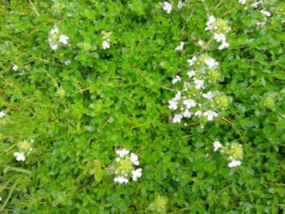 creeping-white-thyme-kahikatea-farm