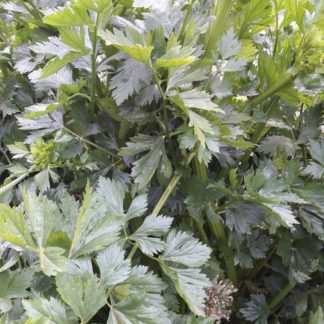 cutting-celery-kahikatea-farm