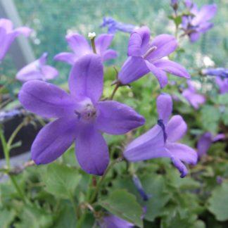 dalmation-bellflower-campanula-portenschlagiana-kahikatea-farm