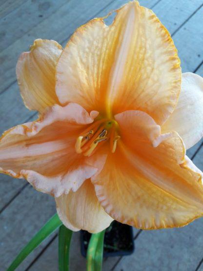 daylily-hemerocallis-kahikatea-farm