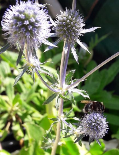 eryngium-sea-holly-kahikatea-farm