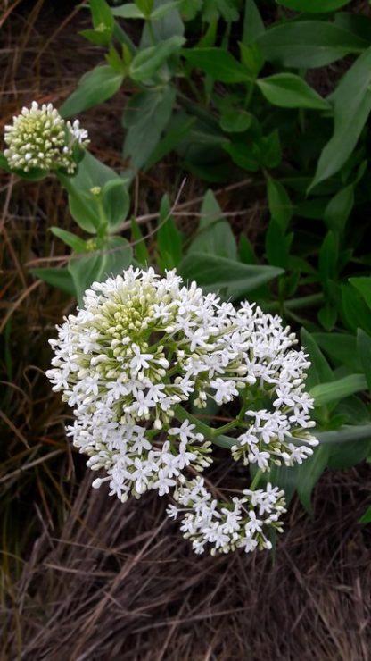 false-valerian white-centrathus-ruber-kahikatea-farm