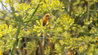 fennel-flowers-pollinators-kahikatea-farm