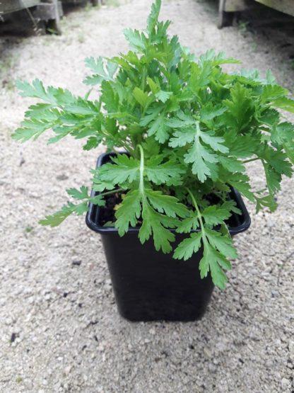 feverfew-potted-plant-kahikatea-farm