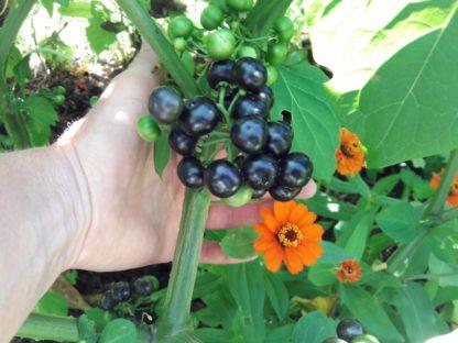 garden-huckleberry-kahikatea-farm