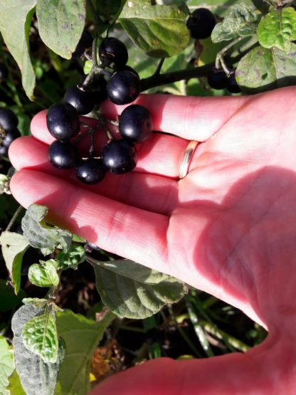 garden-huckleberry-fruit-kahikatea-farm