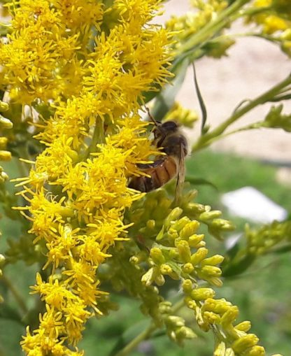 goldenrod-bee-kahikatea-farm