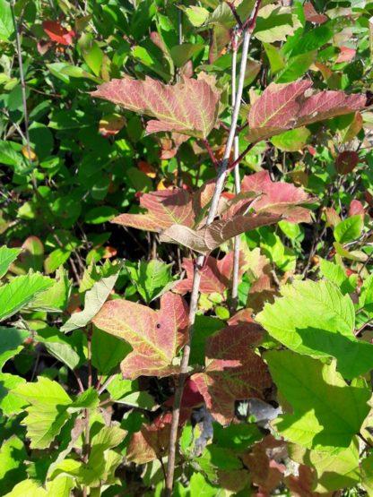highbush-cranberry-viburnum-trilobum-autumn-kahikatea-farm (1)