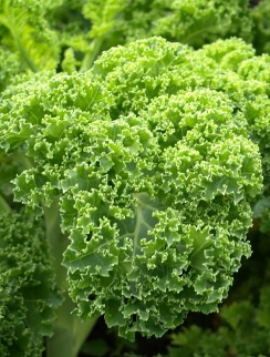 kale-curly