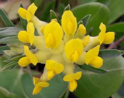 kidney-vetch-flower-kahikatea-farm