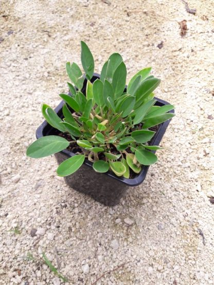 kidney-vetch-potted-plant-kahikatea-farm