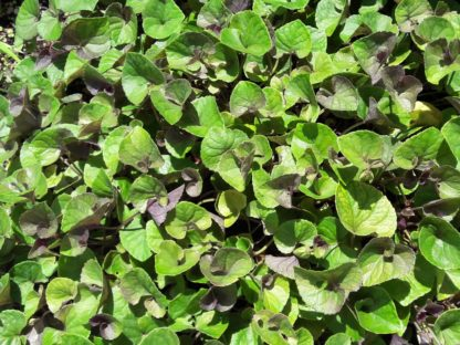 labrador-violet-leaves-kahikatea-farm