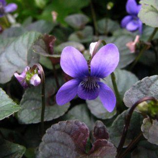 labrador-violet-viola-riviniana-flower-kahikatea-farm
