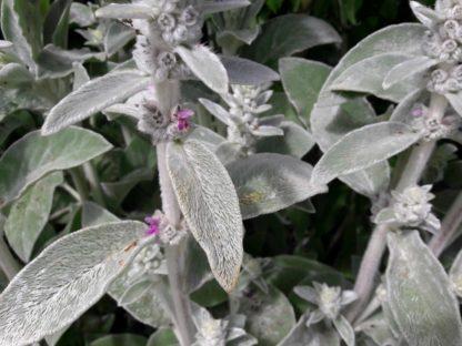 lamb's-ears-stachys-flowers-kahikatea-farm