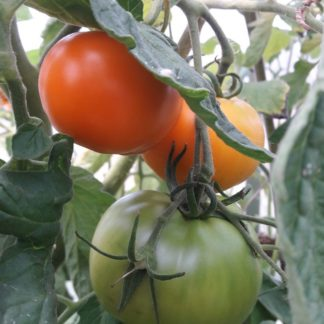 moonglow-tomato-plant-kahikatea-farm