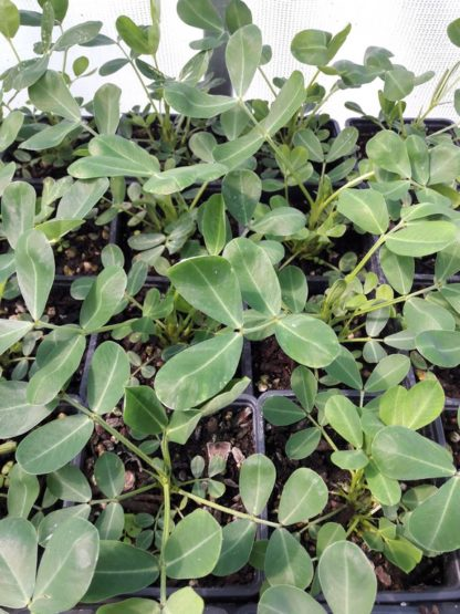 peanut-potted-plant-kahikatea-farm