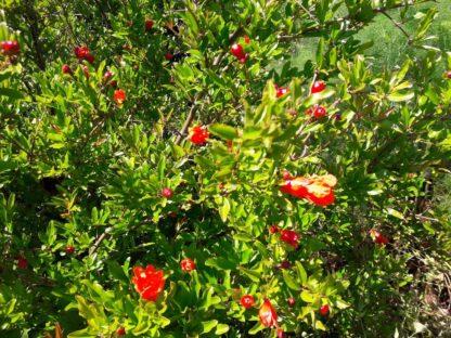 pomegranate-kahikatea-farm