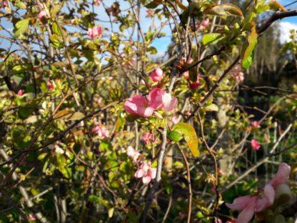 pseudocydonia-chinese-quince-blossom-kahikatea-farm