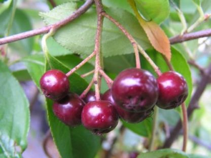 purple chokeberry fruit