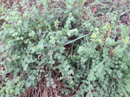 salad-burnet-kahikatea-farm (2)