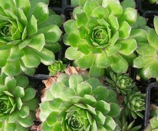sempervivum-hen-and-chicks-houseleek-kahikatea-farm