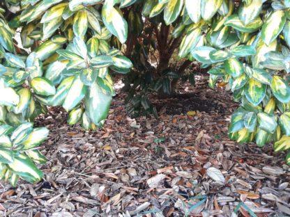 silverberry-elaeagnus-ebbingeii-kahikatea-farm-leaf-litter