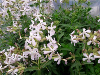 soapwort-flower-kahikatea-farm