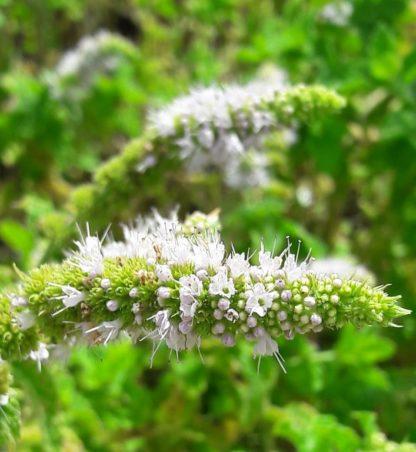 spearmint-flower-kahikatea-farm