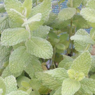 spearmint-leaves-kahikatea-farm