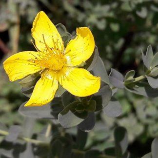 st-johns-wort-flower-kahikatea-farm