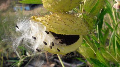 swan-plant-seed-head-kahikatea-farm