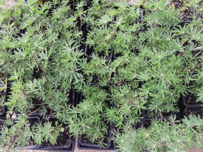 tree-lupin-potted-plants-kahikatea-farm