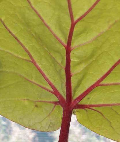 turkish-rhubarb-veins-kahikatea-farm