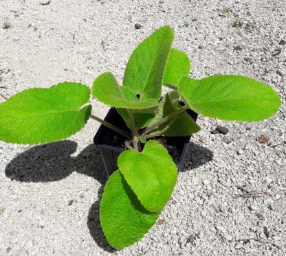 turkish-sage-potted-plant-kahikatea-farm