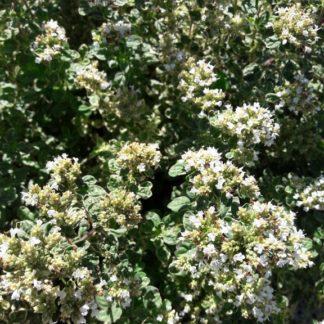 varieg marjoram flower