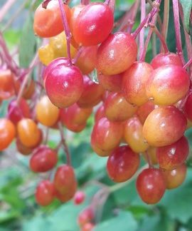viburnum-opulus-fruit-kahikatea-farm