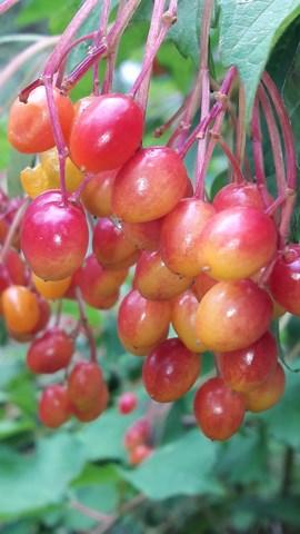 viburnum-trilobum-fruit-kahikatea-farm
