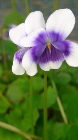 viola-hederacea-australian-violet-flower-kahikatea-farm