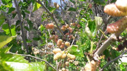 white-mulberry-tree-kahikatea-farm