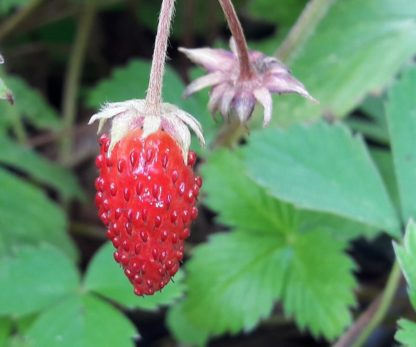 wild-strawberry-fruit-kahikatea-farm