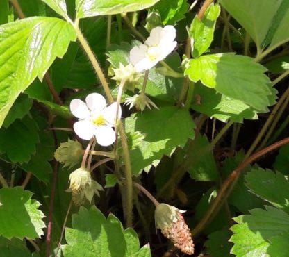 wild-strawberry-kahikatea-farm