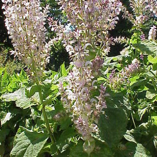 Clary-sage-plant