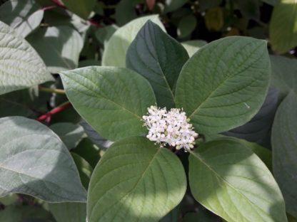 cornus-alba-dogwood-flower-kahikatea-farm